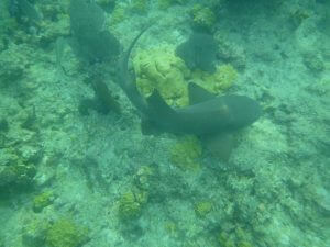A nurse shark swimming at the reef in Key West