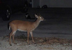 A key deer grazing outside of someone's front yard in Big Pine Key.