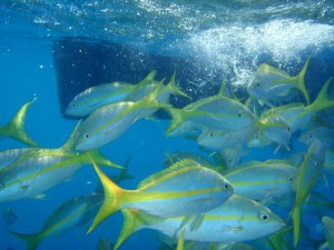 Yellow tale snapper in abundance at the reef.