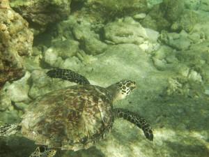 loggerhead sea turtle in key west