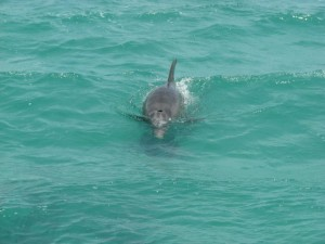 bottlenose dolphin in key west