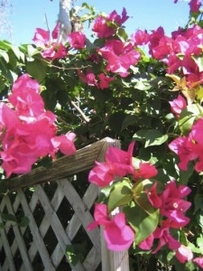 Places to See in Key West Bougainvillea