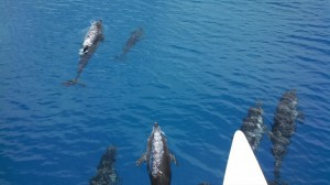 Key West Dolphins in the Wild
