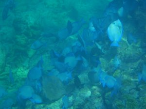 A school of blue tang at a reef in Key West