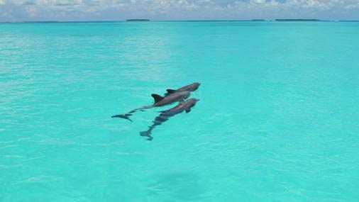 Image of dolphins swimming in Key West