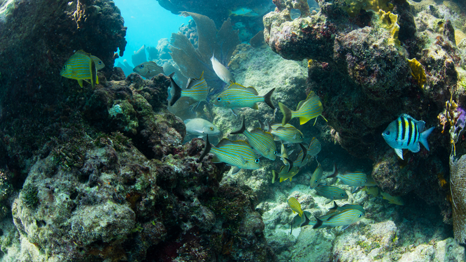 School of fish in between corals in Key West