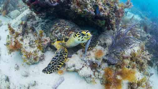Image of sea turtle along the coral reef in Key West