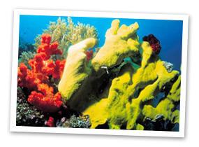 snorkel-coral2