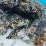 Underwater picture of a sea turtle amongst the reef in Key West.