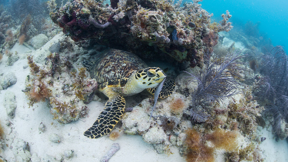 Sea Turtle in Reef